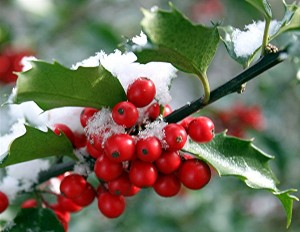 holly berries inwinter